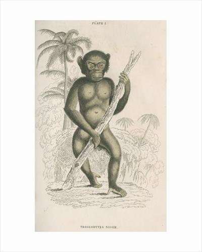 'Troglodytes niger' [Chimpanzee] by William Home Lizars