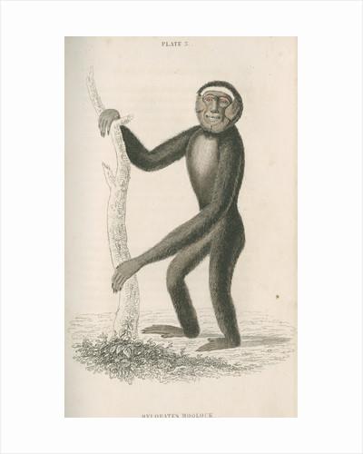 'Hylobates hoolock' [Hoolock gibbon] by William Home Lizars