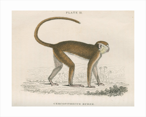 'Cercopithecus ruber' [Red monkey] by William Home Lizars