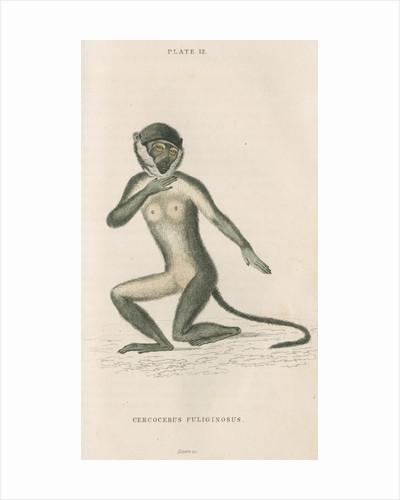 'Cercocebus fuliginosus' [White-eyelid mangabey] by William Home Lizars