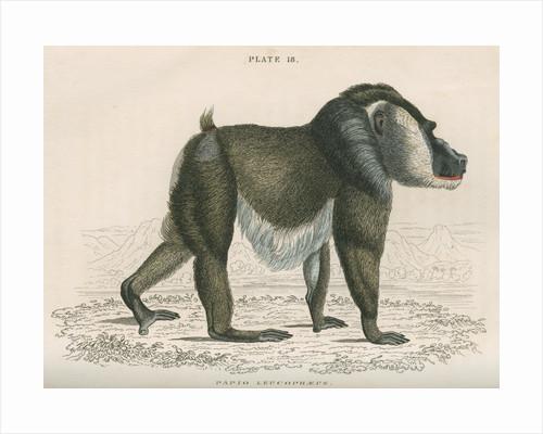 'Papio leucophaeus' [Drill] by William Home Lizars