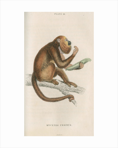 'Mycetes ursinus' [Brown howler monkey] by William Home Lizars