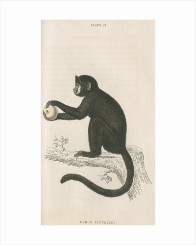 'Cebus fatuellus' [Tufted capuchin] by William Home Lizars