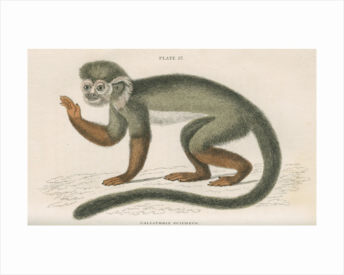 'Callithrix sciureus' [Common squirrel monkey] by William Home Lizars