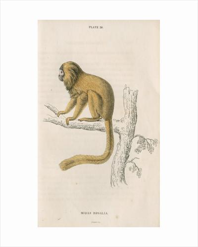 'Midas rosalia' [Golden lion tamarin] by William Home Lizars