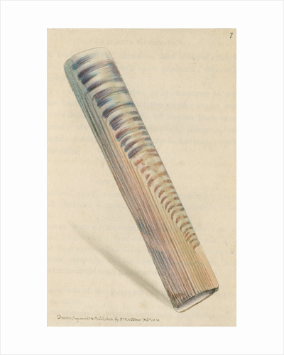 'Ceylon razor-shell' by Richard Polydore Nodder