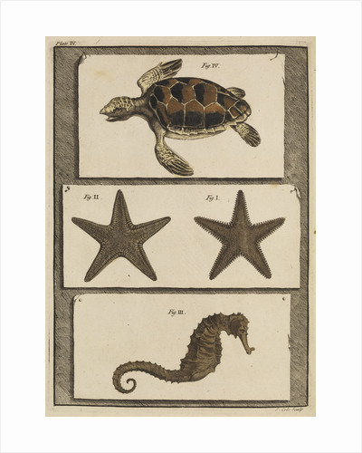 Three specimens of marine life by T Cole