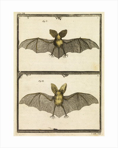 A specimen of bat by T Cole