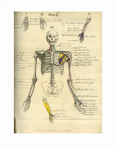 Muscle distribution of the upper body (front) by Joseph Constantine Carpue