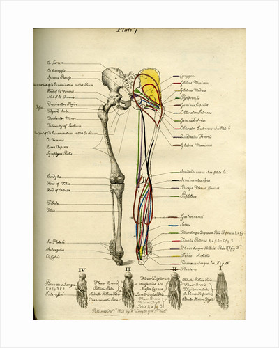 Muscle distribution of the lower bod(back) by Joseph Constantine Carpue