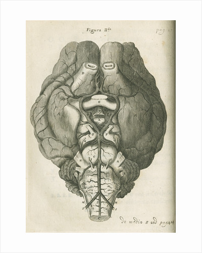 The base of a sheep's brain by unknown