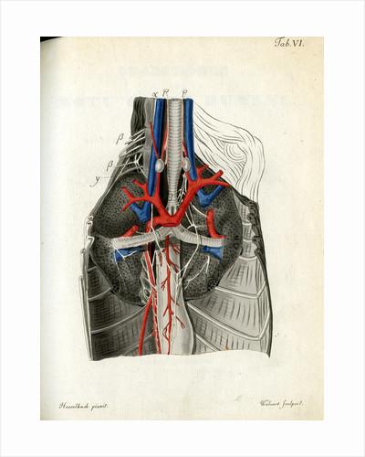 Open chest cavity by Walwert