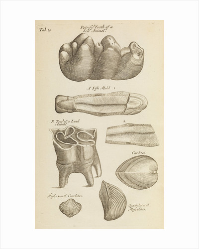 A 'petrified tooth' in the Royal Society's Repository by Anonymous