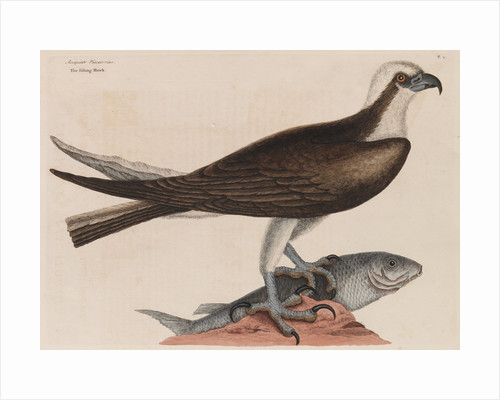 The fishing hawk by Mark Catesby