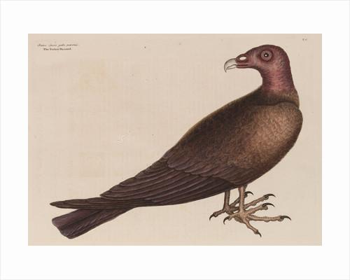 The turkey buzzard by Mark Catesby
