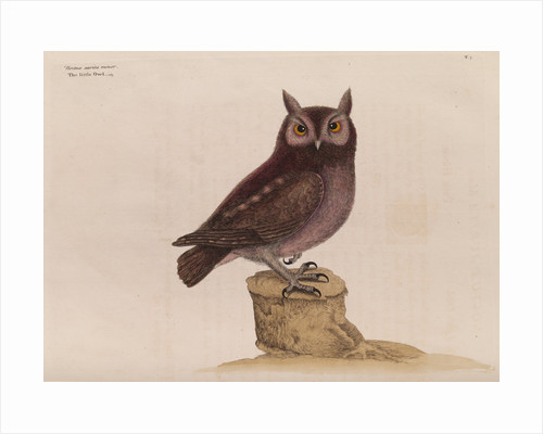 The little owl by Mark Catesby