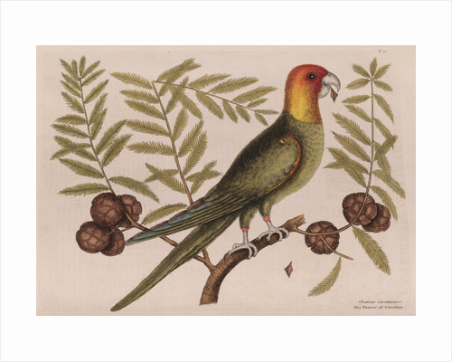 The parrot of Carolina and the cypress of America by Mark Catesby