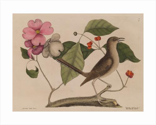 The 'mock-bird' and the dogwood tree by Mark Catesby