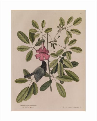 The 'Bahama sparrow' and the 'bignonia' by Mark Catesby
