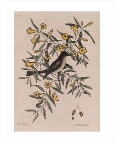 The 'blackcap fly-catcher' and the 'yellow jessamy' by Mark Catesby