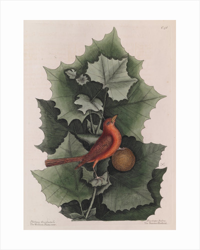 The 'summer red-bird' and the 'western plane tree' by Mark Catesby