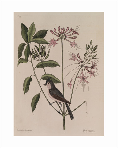 The 'crested titmouse' and the 'upright honysuckle' by Mark Catesby