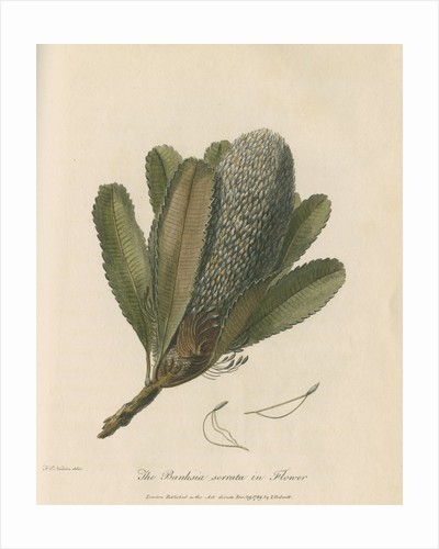 'The Banksia Serrata in Flower' by Frederick Polydor Nodder