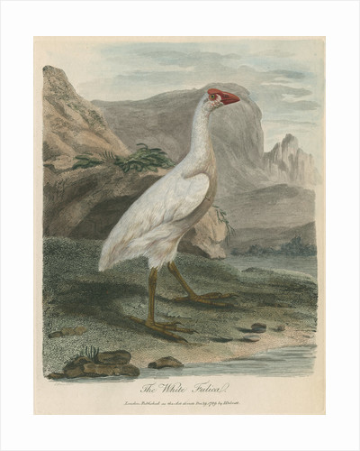 'The White Fulica' by Sarah Stone