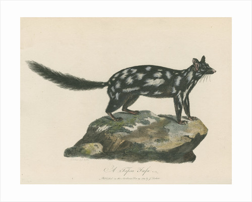 A Tapoa Tafa (Eastern quoll) by Charles Catton the younger