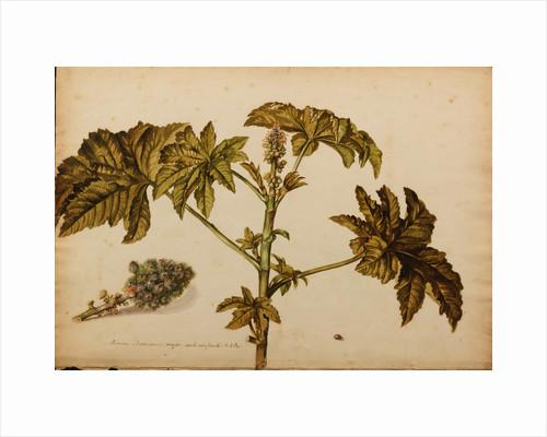 Ricinus americanus by Georg Dionysius Ehret