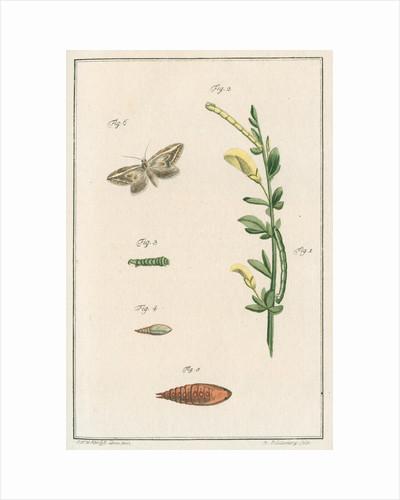 Broom moth by Johann Rudolf Schellenbur