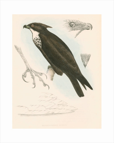 Machaerhamphus alcinus by unknown