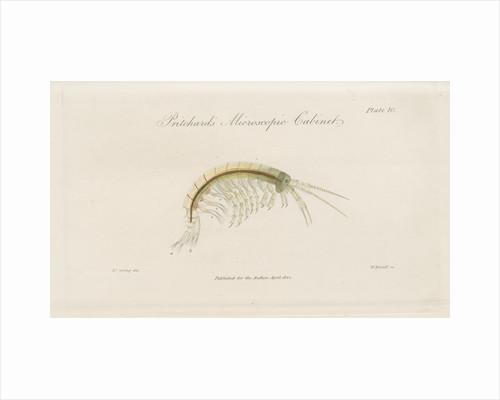 Freshwater shrimp by William Kelsall