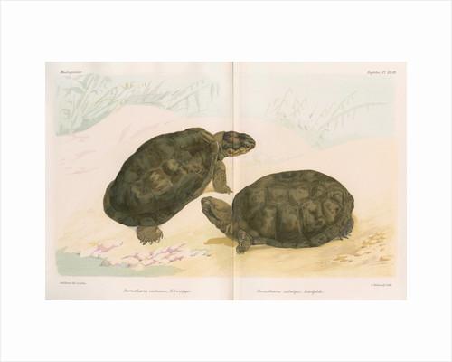 African mud turtles by Louis Léchaudel