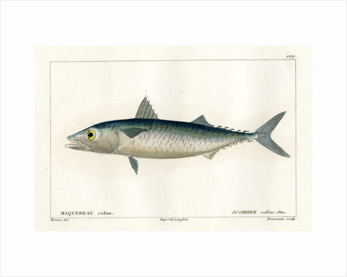 Atlantic chub mackerel by Nicolas Louis Rousseau