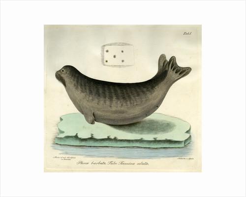 Bearded seal by Johann Friedrich Schröter