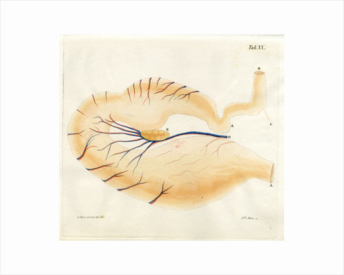 Harp seal stomach by Friedrich Eduard Müller