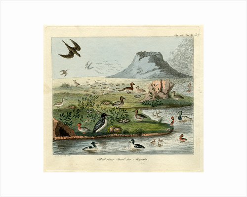 Waterfowl of Mývatn by Friedrich Eduard Müller