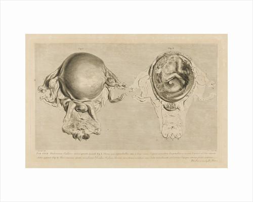 Human gravid uterus by Pierre-Charles Canot