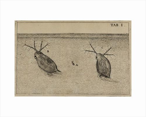 Water fleas by Jan Swammerdam