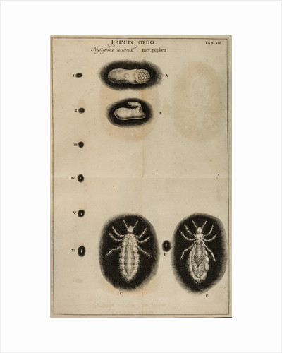 Life cycle of a louse by Jan Swammerdam