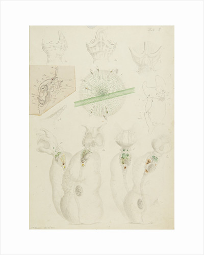 Collotheca rotifers by Charles Thomas Hudson