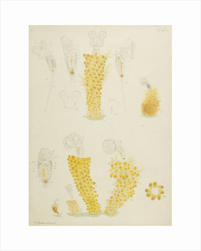 Ptygura rotifers by Charles Thomas Hudson