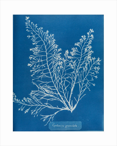 Cystoseira granulata by Anna Atkins