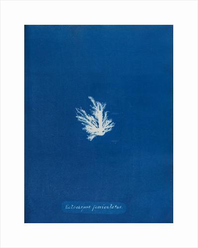 Blueprint posters blueprint prints page 3 ectocarpus fascieulatus by anna atkins malvernweather Image collections