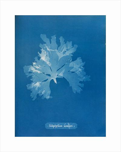 Nitophyllum gmeleni by Anna Atkins