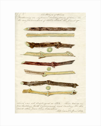 Cuttings of grape vines by Joseph James Forrester