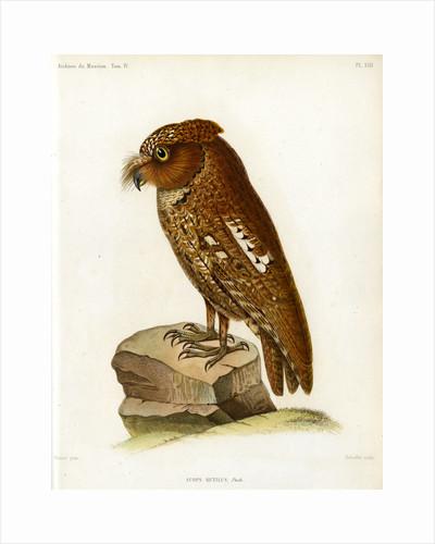 Rainforest scops owl by Rebuffet