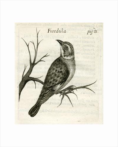 Flycatcher by unknown