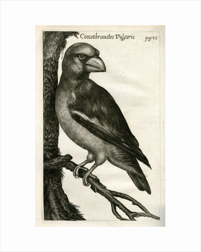 Hawfinch by unknown